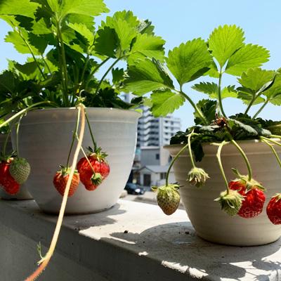 自宅のベランダでプランターにイチゴやレタスを育てています。土いじりは癒しの時間です。
